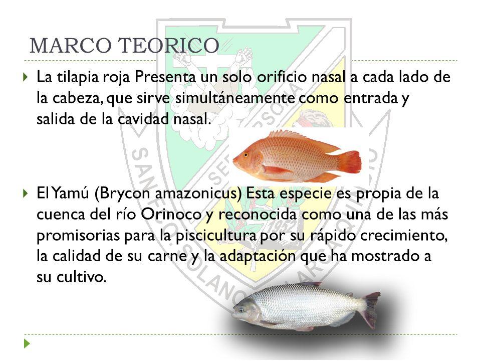 MARCO TEORICO La tilapia roja Presenta un solo orificio nasal a cada lado de la cabeza, que sirve simultáneamente como entrada y salida de la cavidad