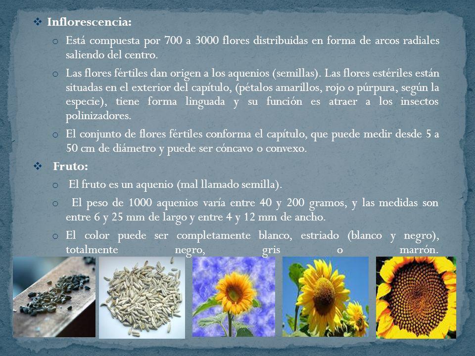 Inflorescencia: o Está compuesta por 700 a 3000 flores distribuidas en forma de arcos radiales saliendo del centro. o Las flores fértiles dan origen a