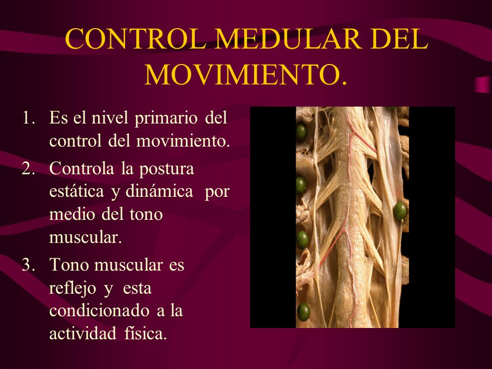 CONTROL MEDULAR DEL MOVIMIENTO. 1.Es el nivel primario del control del movimiento. 2.Controla la postura estática y dinámica por medio del tono muscul