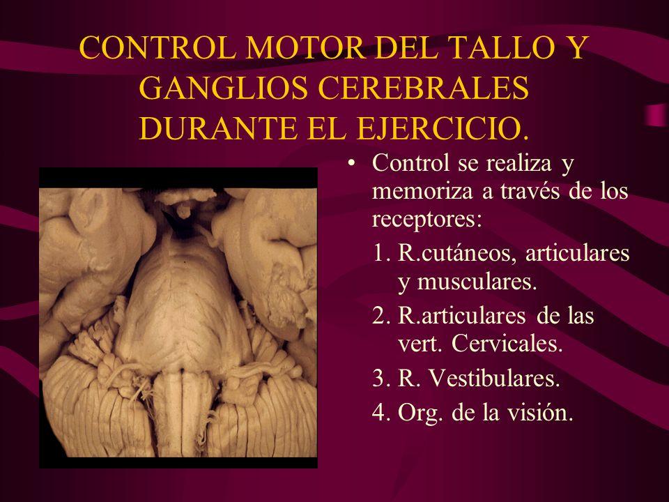 CONTROL MOTOR DEL TALLO Y GANGLIOS CEREBRALES DURANTE EL EJERCICIO. Control se realiza y memoriza a través de los receptores: 1.R.cutáneos, articulare