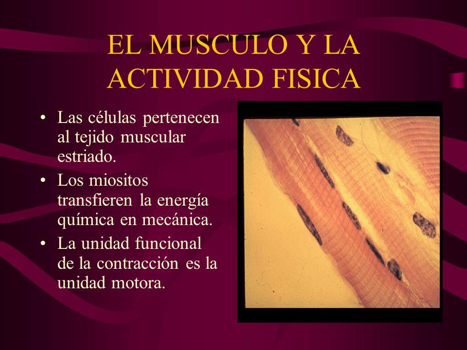 EL MUSCULO Y LA ACTIVIDAD FISICA Las células pertenecen al tejido muscular estriado. Los miositos transfieren la energía química en mecánica. La unida