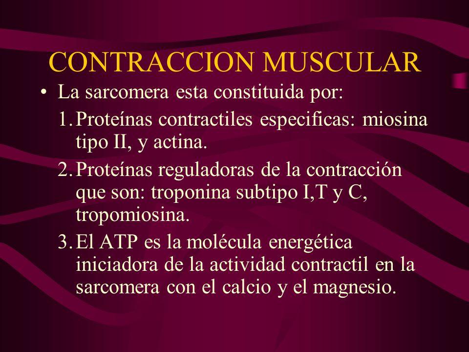 CONTRACCION MUSCULAR La sarcomera esta constituida por: 1.Proteínas contractiles especificas: miosina tipo II, y actina. 2.Proteínas reguladoras de la