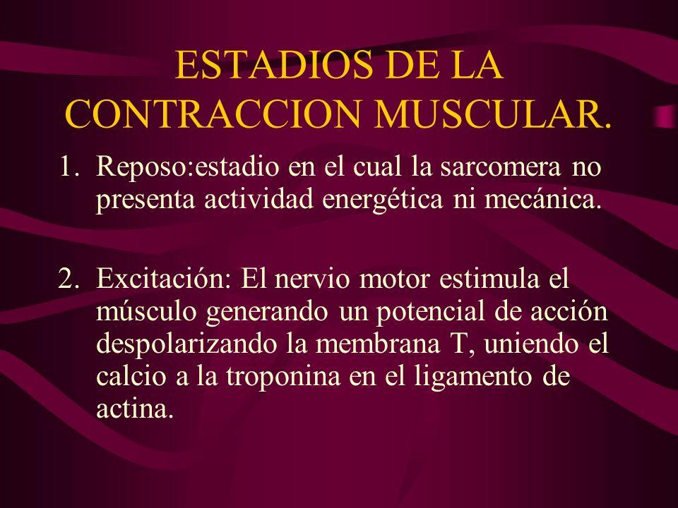 ESTADIOS DE LA CONTRACCION MUSCULAR. 1.Reposo:estadio en el cual la sarcomera no presenta actividad energética ni mecánica. 2.Excitación: El nervio mo