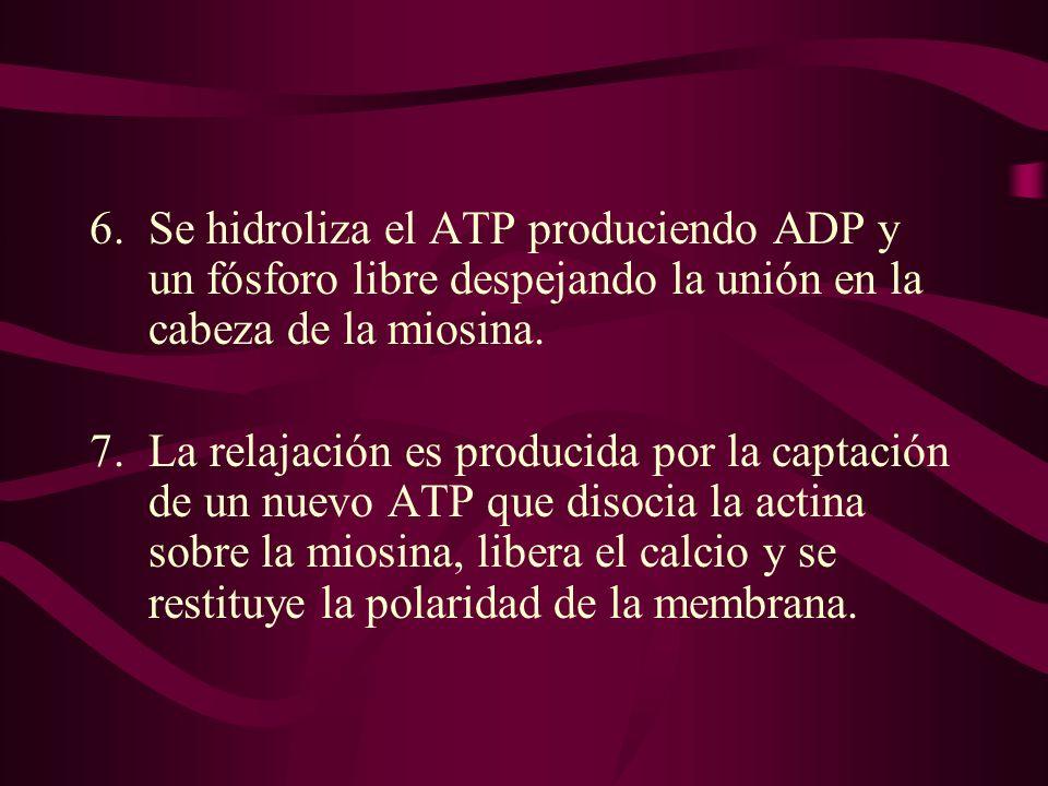 6.Se hidroliza el ATP produciendo ADP y un fósforo libre despejando la unión en la cabeza de la miosina. 7.La relajación es producida por la captación