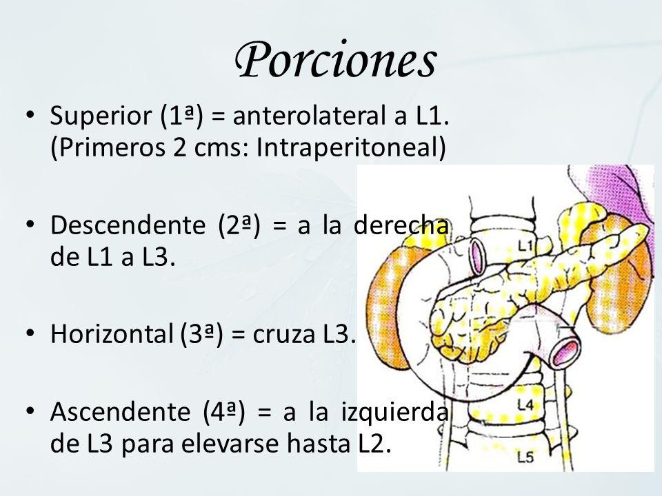 Superior (1ª) = anterolateral a L1. (Primeros 2 cms: Intraperitoneal) Descendente (2ª) = a la derecha de L1 a L3. Horizontal (3ª) = cruza L3. Ascenden