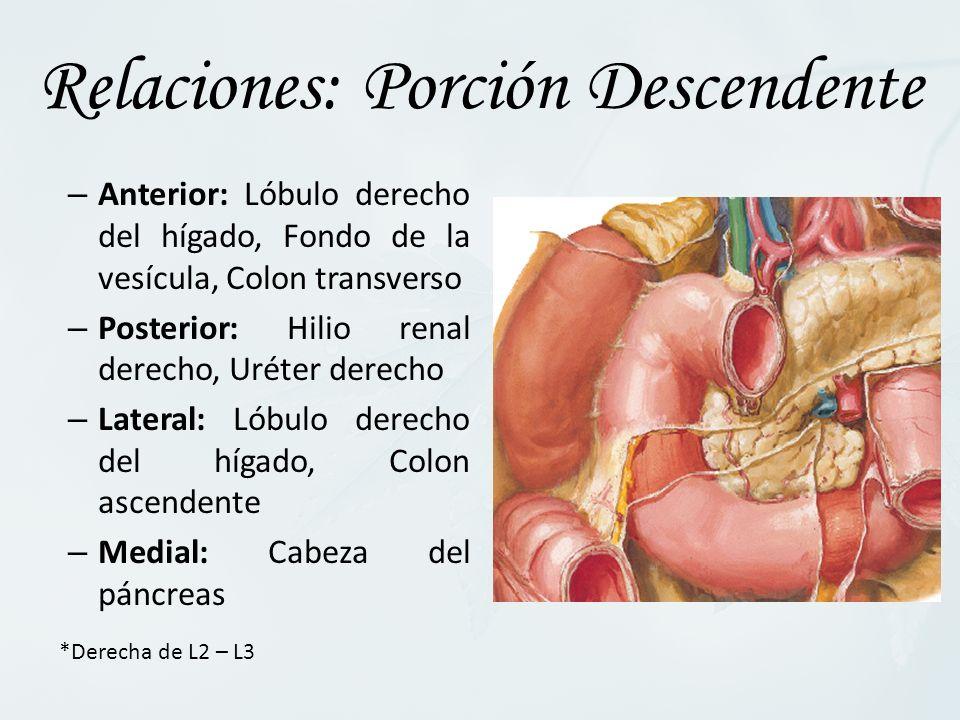 – Anterior: Lóbulo derecho del hígado, Fondo de la vesícula, Colon transverso – Posterior: Hilio renal derecho, Uréter derecho – Lateral: Lóbulo derecho del hígado, Colon ascendente – Medial: Cabeza del páncreas Relaciones: Porción Descendente *Derecha de L2 – L3