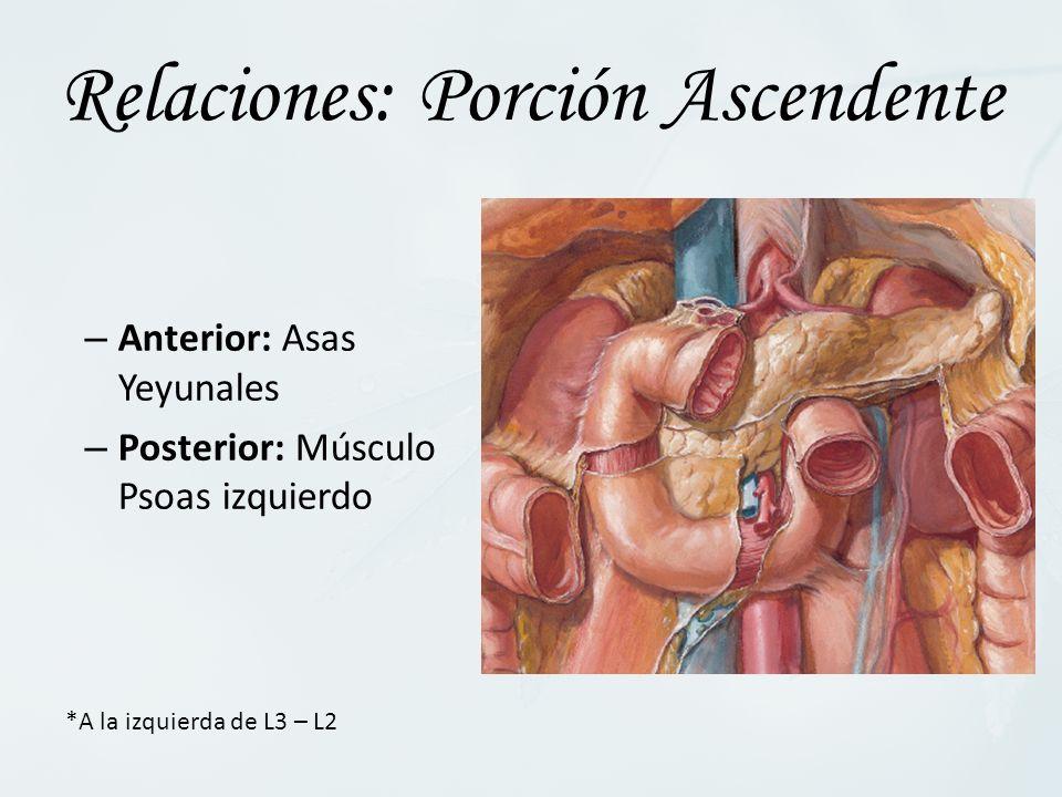 – Anterior: Asas Yeyunales – Posterior: Músculo Psoas izquierdo Relaciones: Porción Ascendente *A la izquierda de L3 – L2