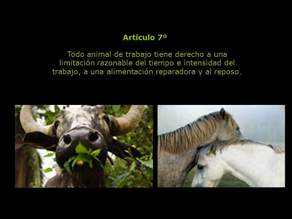 Todo animal que el hombre ha escogido como compañero, tiene derecho a que la duración de su vida sea conforme a su longevidad natural.
