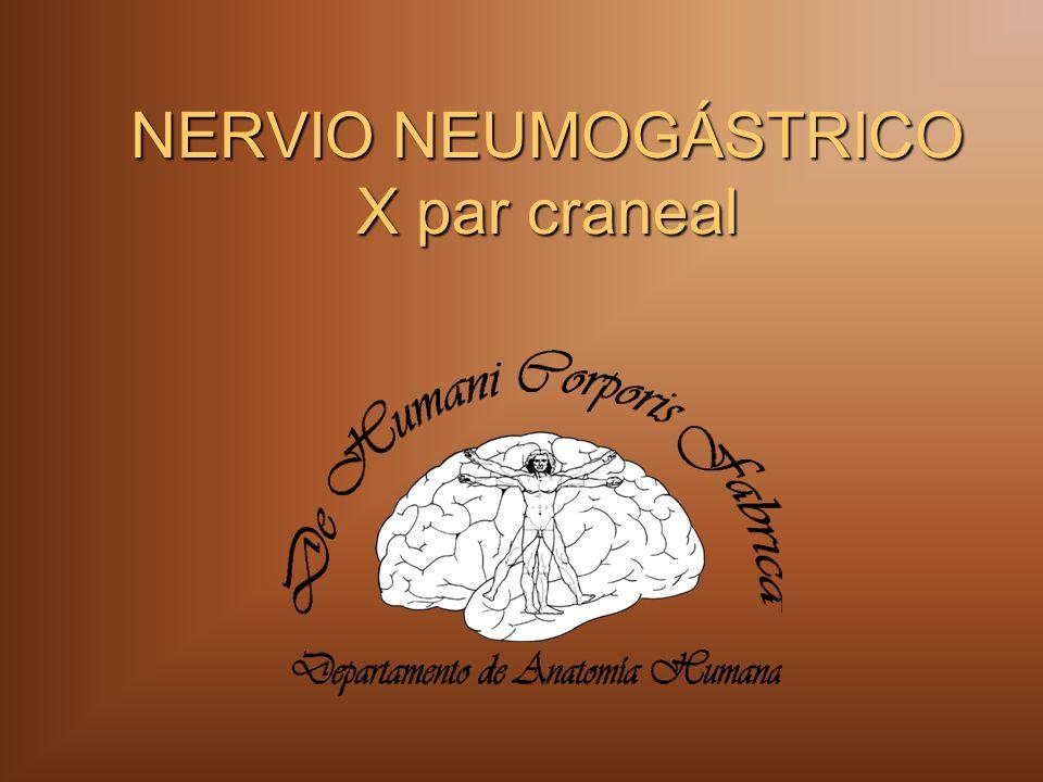 NERVIO NEUMOGÁSTRICO X par craneal