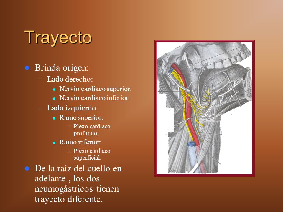 Trayecto Brinda origen: – Lado derecho: Nervio cardiaco superior.