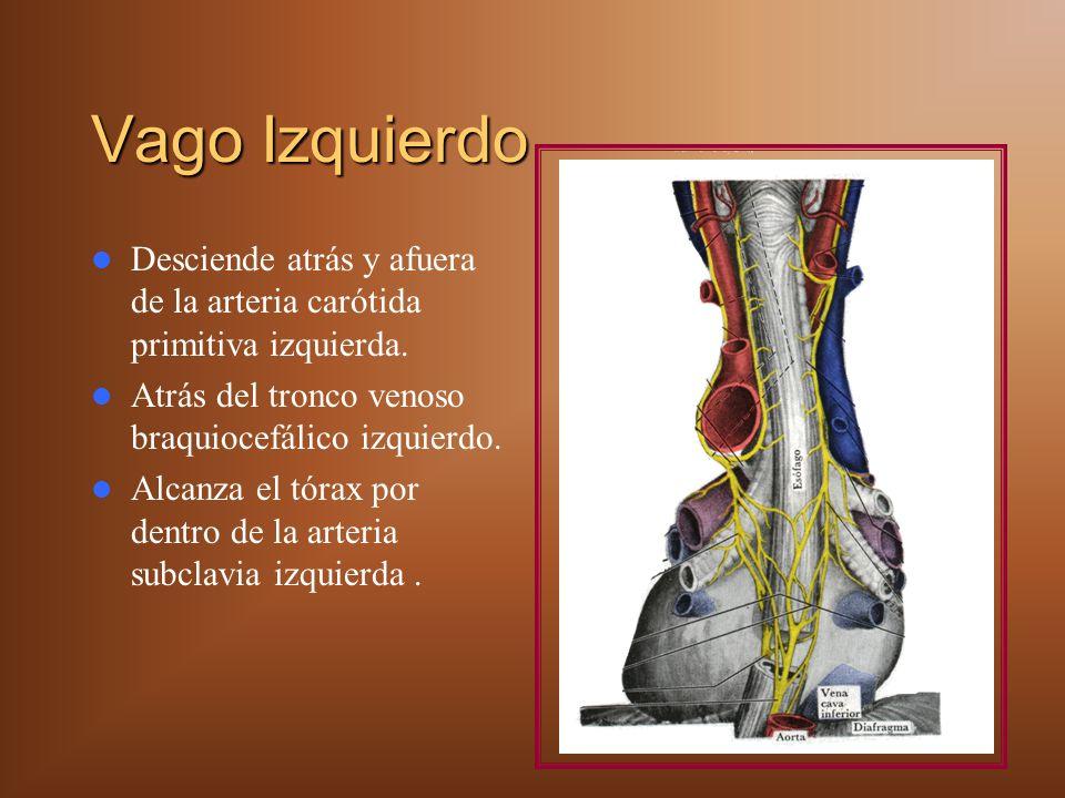 Vago Izquierdo Desciende atrás y afuera de la arteria carótida primitiva izquierda. Atrás del tronco venoso braquiocefálico izquierdo. Alcanza el tóra