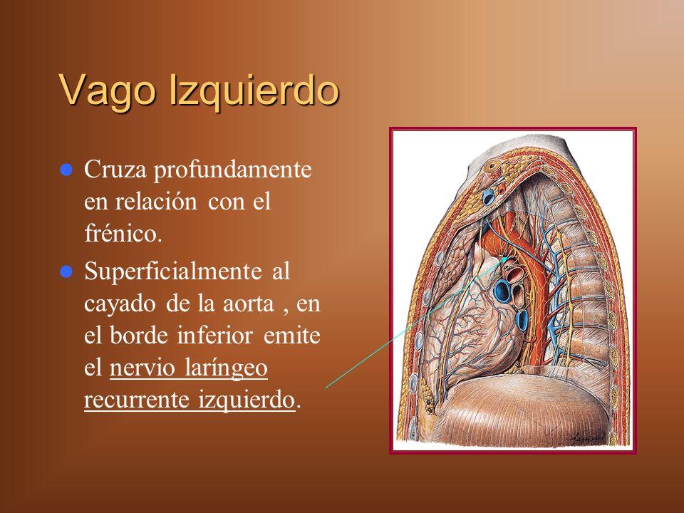 Vago Izquierdo Cruza profundamente en relación con el frénico. Superficialmente al cayado de la aorta, en el borde inferior emite el nervio laríngeo r