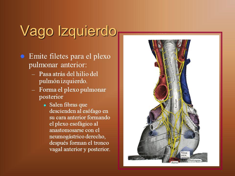 Vago Izquierdo Emite filetes para el plexo pulmonar anterior: – Pasa atrás del hilio del pulmón izquierdo. – Forma el plexo pulmonar posterior Salen f