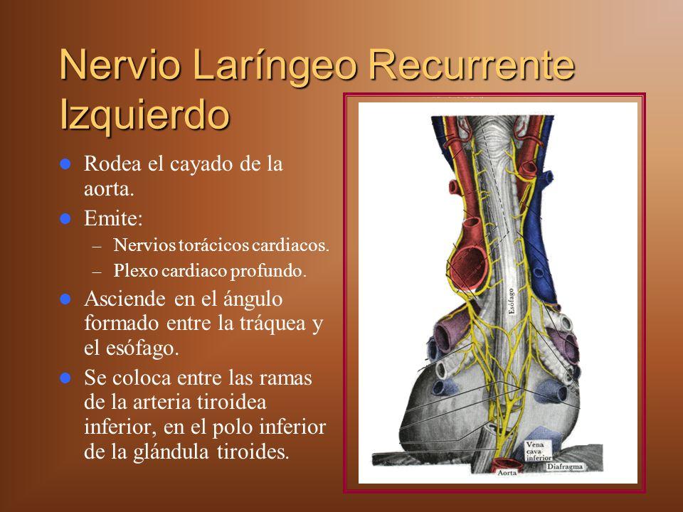 Nervio Laríngeo Recurrente Izquierdo Rodea el cayado de la aorta. Emite: – Nervios torácicos cardiacos. – Plexo cardiaco profundo. Asciende en el ángu