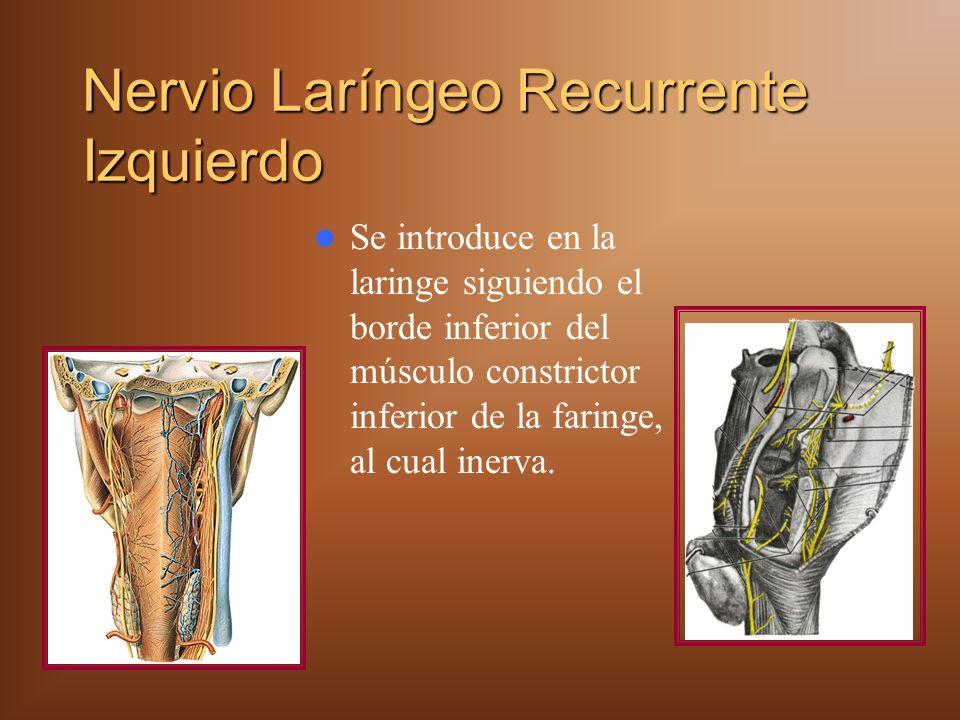 Nervio Laríngeo Recurrente Izquierdo Se introduce en la laringe siguiendo el borde inferior del músculo constrictor inferior de la faringe, al cual inerva.