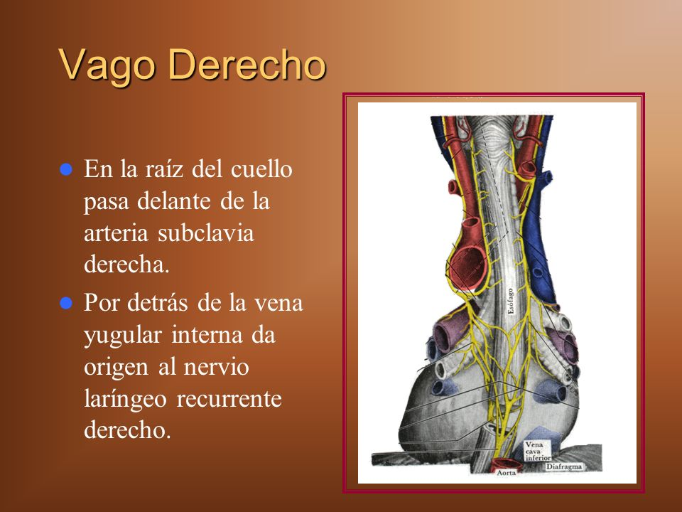 Vago Derecho En la raíz del cuello pasa delante de la arteria subclavia derecha. Por detrás de la vena yugular interna da origen al nervio laríngeo re