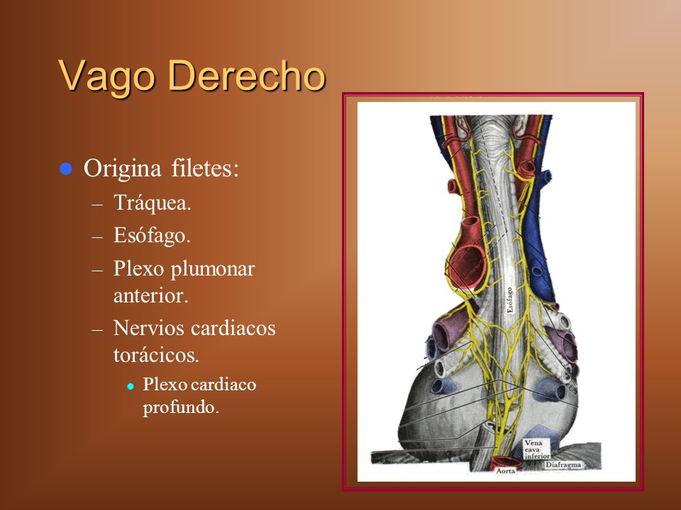 Vago Derecho Origina filetes: – Tráquea. – Esófago. – Plexo plumonar anterior. – Nervios cardiacos torácicos. Plexo cardiaco profundo.