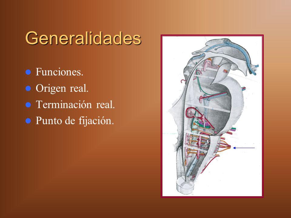 Tronco Vagal Posterior Se distribuye en: – Cara posterior del estómago.