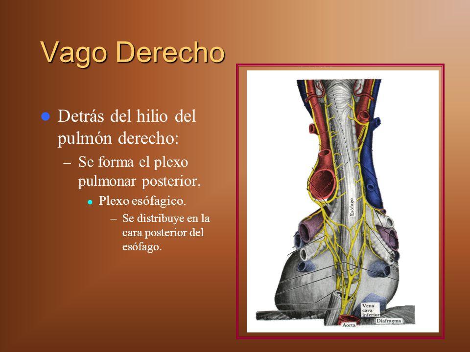 Vago Derecho Detrás del hilio del pulmón derecho: – Se forma el plexo pulmonar posterior. Plexo esófagico. –Se distribuye en la cara posterior del esó