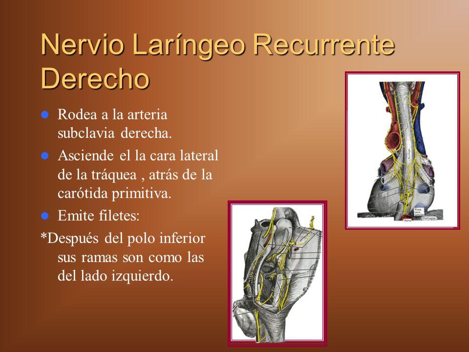 Nervio Laríngeo Recurrente Derecho Rodea a la arteria subclavia derecha. Asciende el la cara lateral de la tráquea, atrás de la carótida primitiva. Em