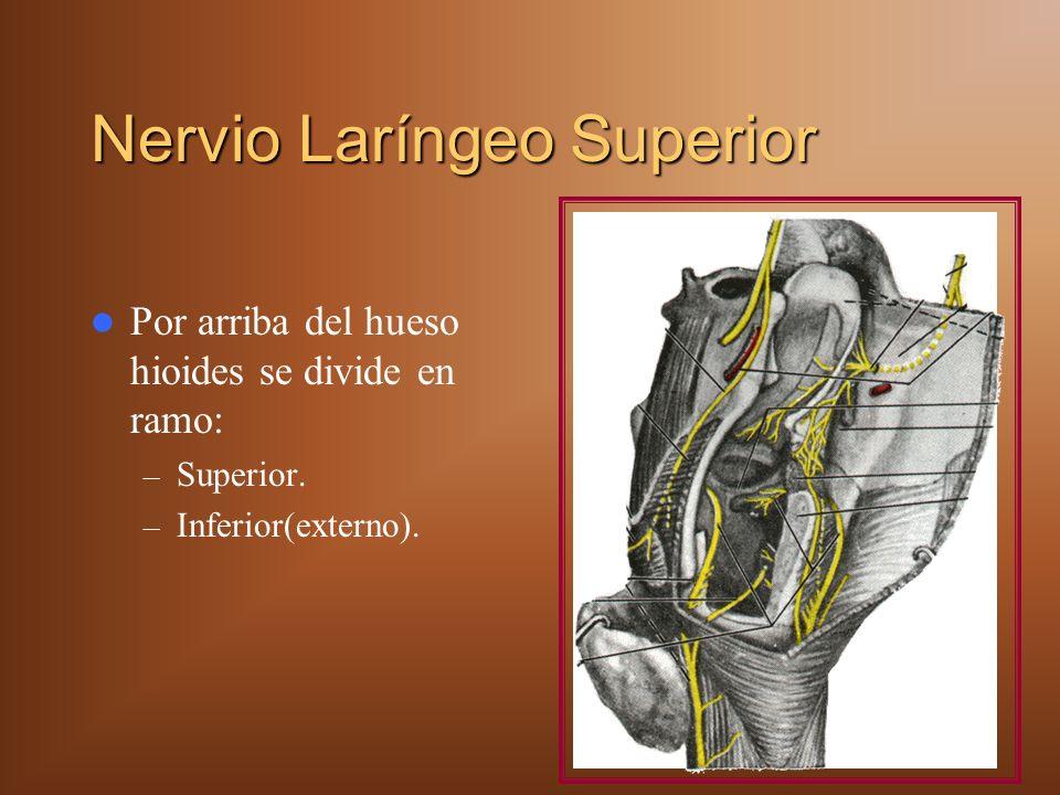 Nervio Laríngeo Superior Por arriba del hueso hioides se divide en ramo: – Superior. – Inferior(externo).