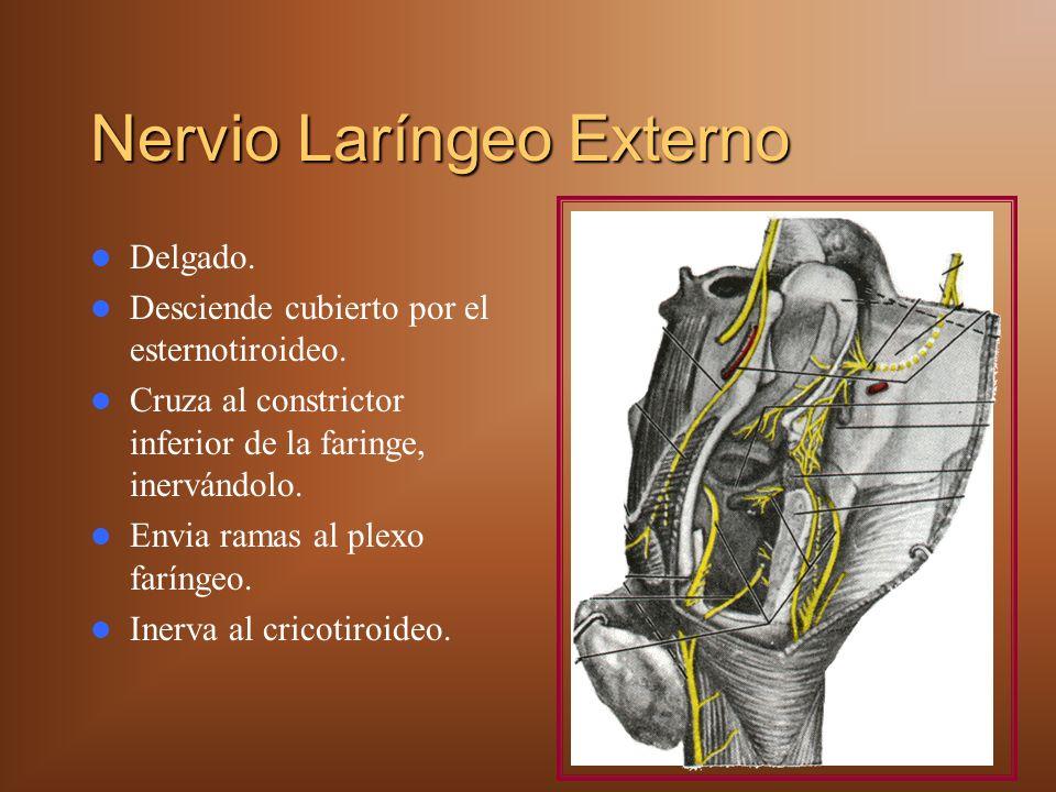 Nervio Laríngeo Externo Delgado.Desciende cubierto por el esternotiroideo.