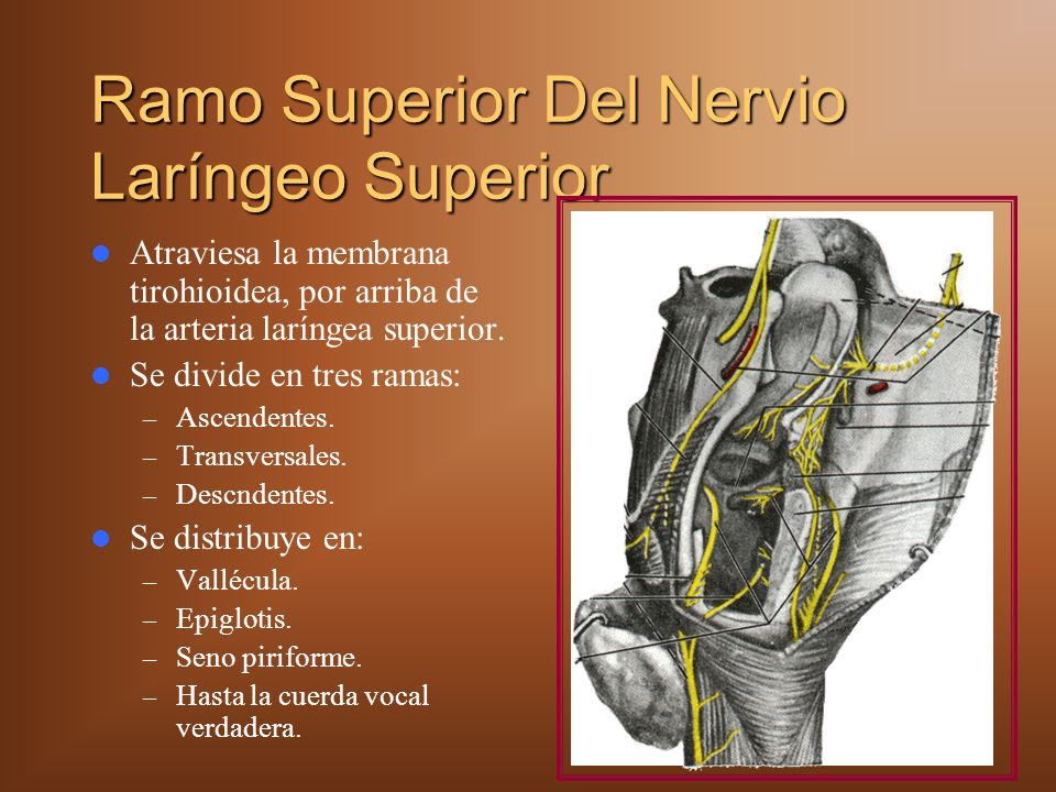 Ramo Superior Del Nervio Laríngeo Superior Atraviesa la membrana tirohioidea, por arriba de la arteria laríngea superior. Se divide en tres ramas: – A