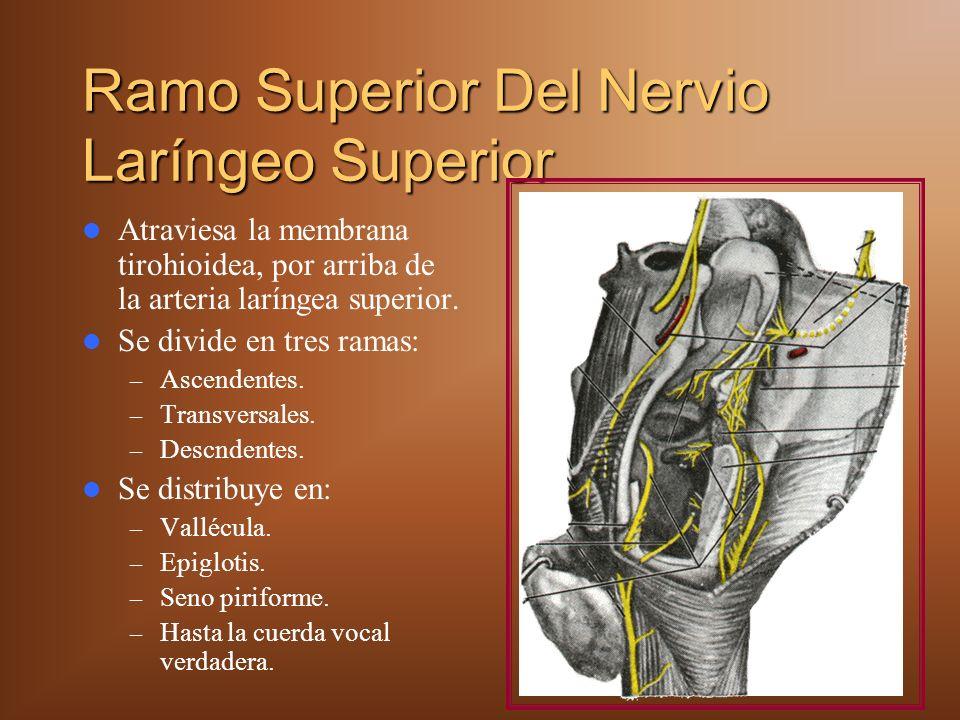 Ramo Superior Del Nervio Laríngeo Superior Atraviesa la membrana tirohioidea, por arriba de la arteria laríngea superior.