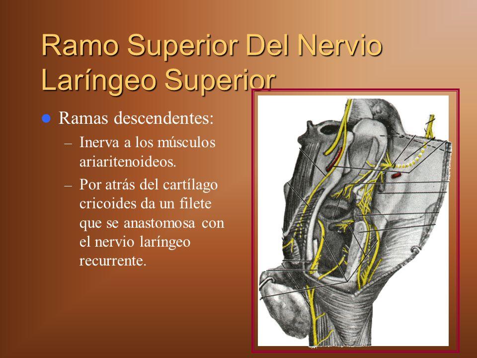 Ramo Superior Del Nervio Laríngeo Superior Ramas descendentes: – Inerva a los músculos ariaritenoideos. – Por atrás del cartílago cricoides da un file