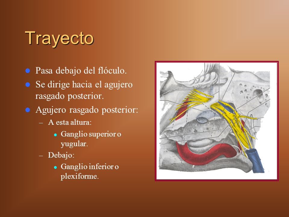 Trayecto Pasa debajo del flóculo. Se dirige hacia el agujero rasgado posterior. Agujero rasgado posterior: – A esta altura: Ganglio superior o yugular