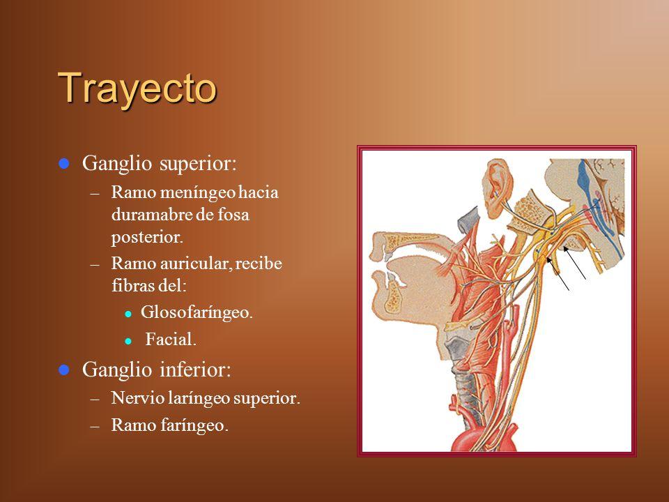 Trayecto Ganglio superior: – Ramo meníngeo hacia duramabre de fosa posterior. – Ramo auricular, recibe fibras del: Glosofaríngeo. Facial. Ganglio infe