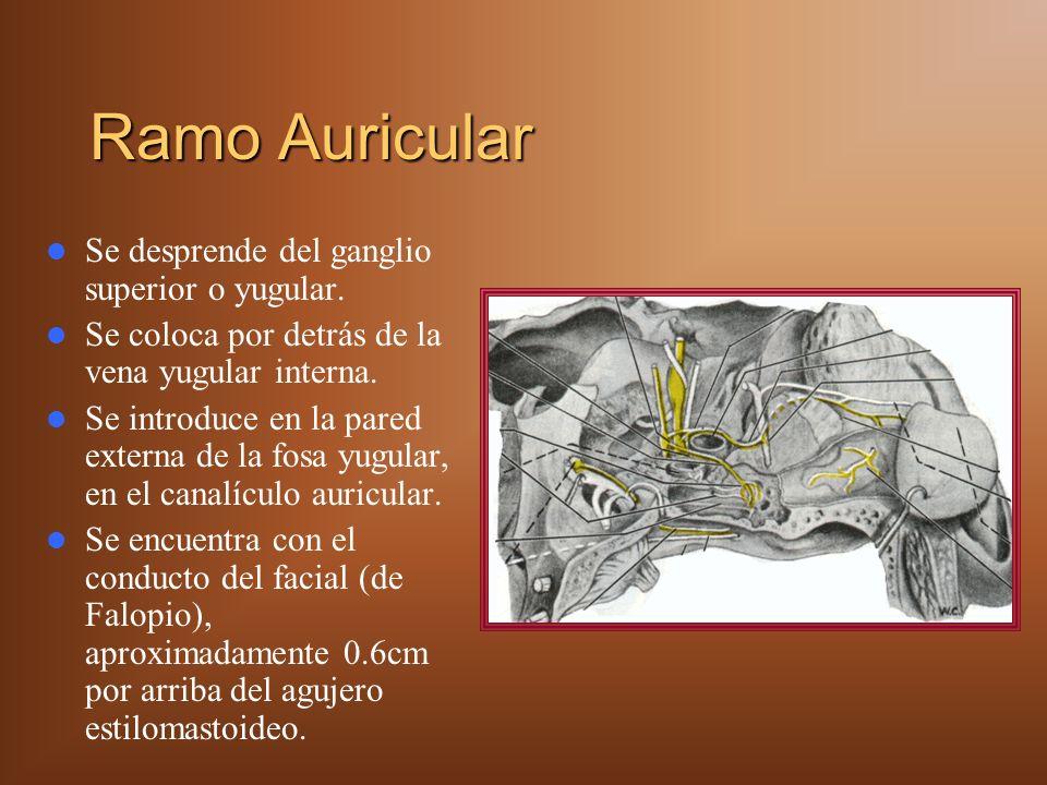 Nervio Laríngeo Superior Por arriba del hueso hioides se divide en ramo: – Superior.