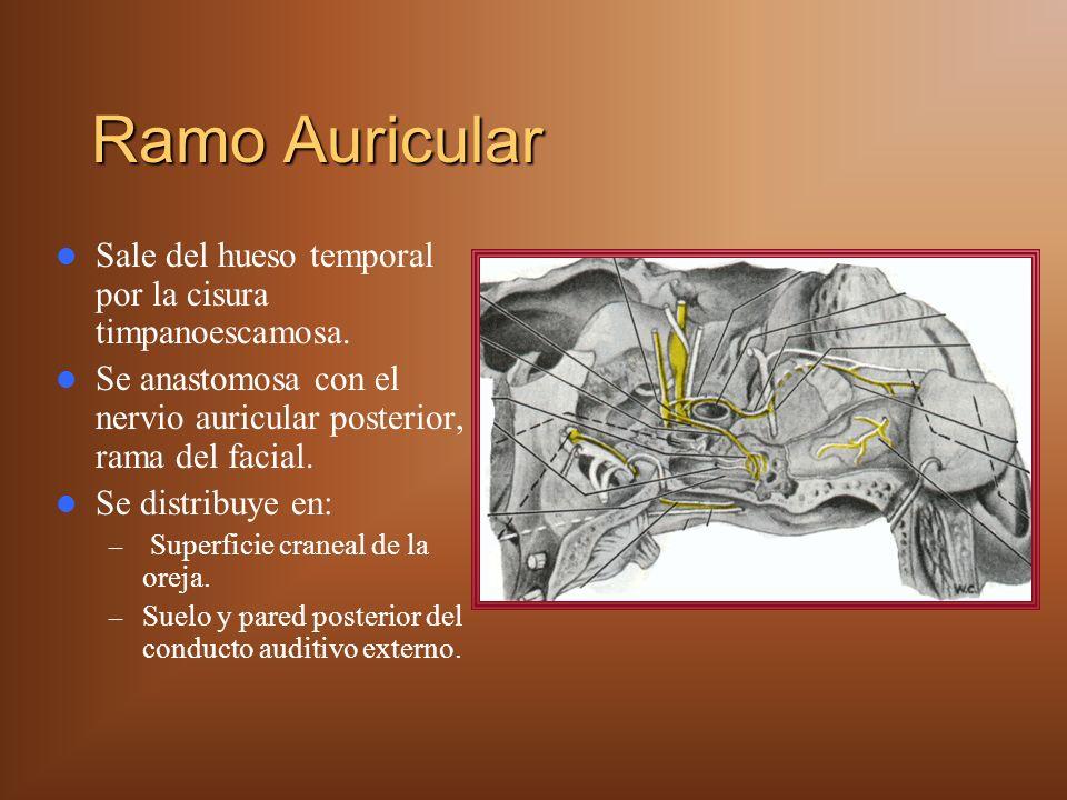 Ramo Auricular Sale del hueso temporal por la cisura timpanoescamosa. Se anastomosa con el nervio auricular posterior, rama del facial. Se distribuye