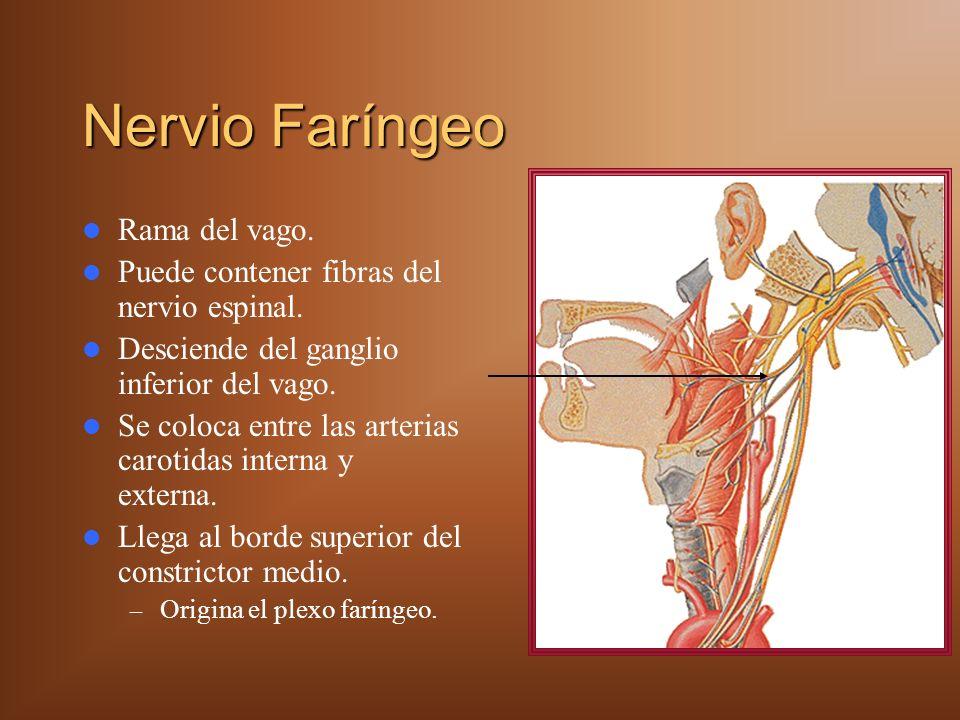 Nervio Faríngeo Rama del vago. Puede contener fibras del nervio espinal. Desciende del ganglio inferior del vago. Se coloca entre las arterias carotid