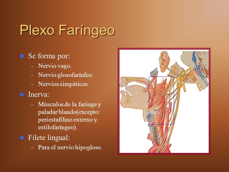 Plexo Faríngeo Se forma por: – Nervio vago. – Nervio glosofarínfeo. – Nervios simpáticos. Inerva: – Músculos de la faringe y paladar blando(excepto: p