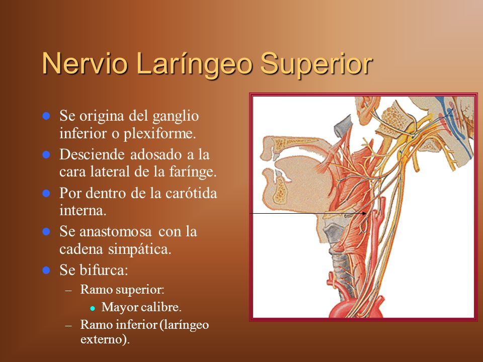 Nervio Laríngeo Superior Se origina del ganglio inferior o plexiforme. Desciende adosado a la cara lateral de la farínge. Por dentro de la carótida in