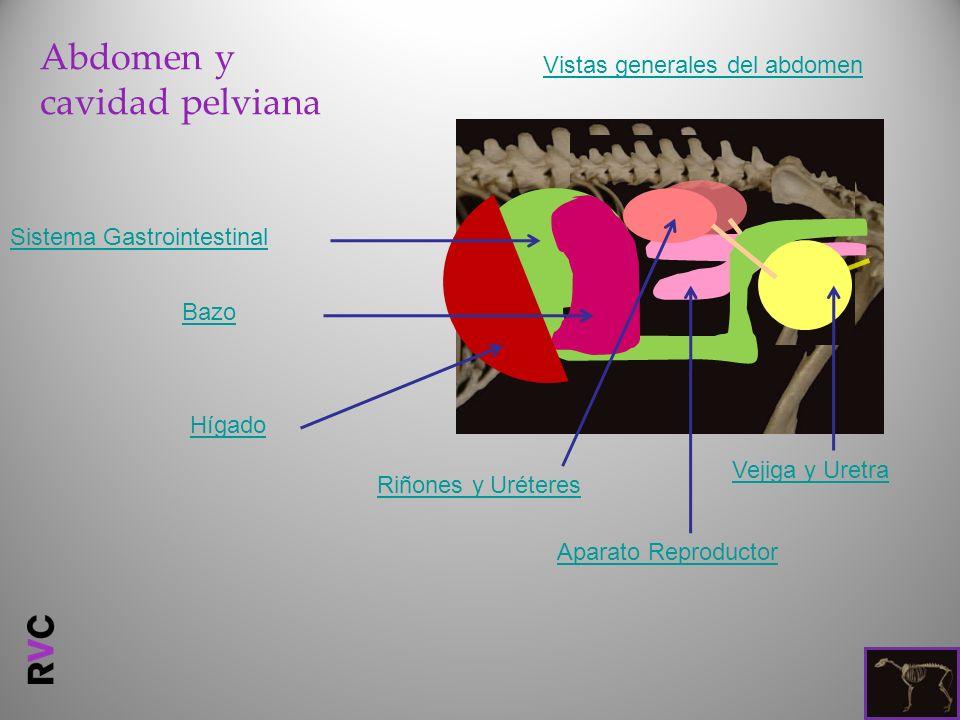 Abdomen y cavidad pelviana Vistas generales del abdomen Aparato Reproductor Riñones y Uréteres Vejiga y Uretra Sistema Gastrointestinal Bazo Hígado