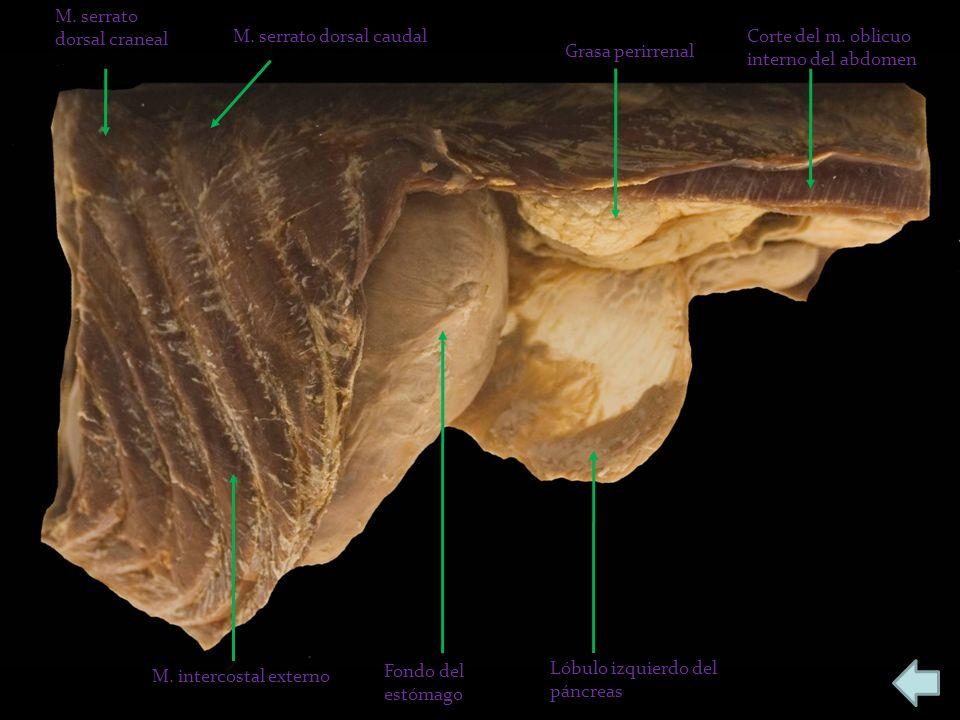 M. serrato dorsal craneal M. serrato dorsal caudal Grasa perirrenal Corte del m. oblicuo interno del abdomen Lóbulo izquierdo del páncreas Fondo del e