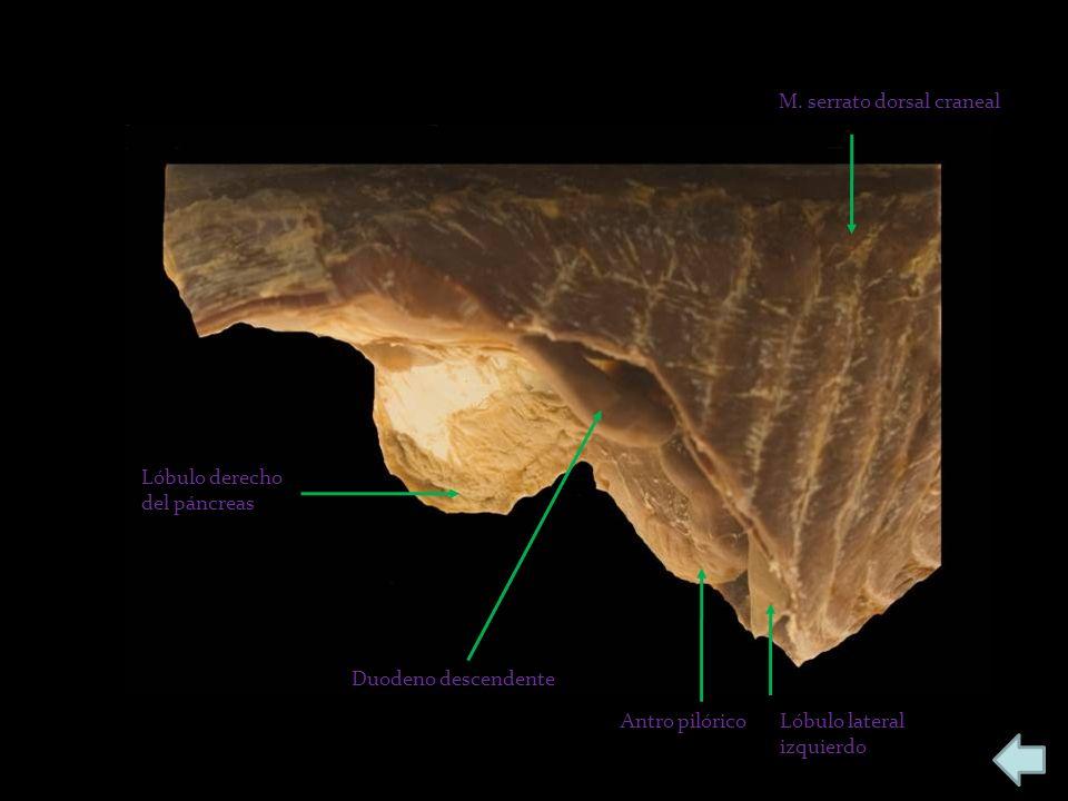Lóbulo derecho del páncreas Duodeno descendente Antro pilóricoLóbulo lateral izquierdo M. serrato dorsal craneal