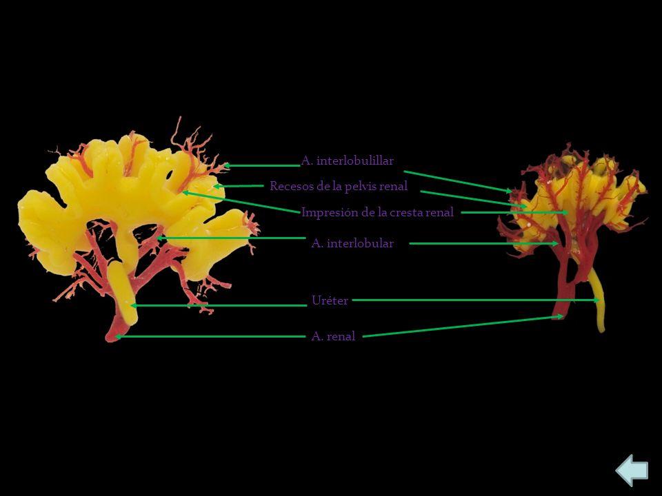 A. renal Uréter A. interlobular A. interlobulillar Recesos de la pelvis renal Impresión de la cresta renal