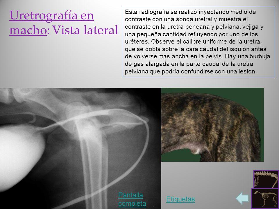 Uretrografía en macho: Vista lateral Pantalla completa Etiquetas Esta radiografía se realizó inyectando medio de contraste con una sonda uretral y mue