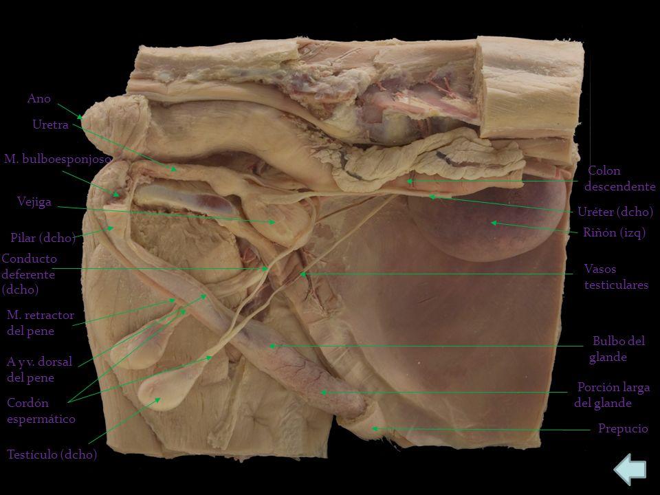 Vejiga Conducto deferente (dcho) Riñón (izq) Uréter (dcho) Uretra M. bulboesponjoso Pilar (dcho) M. retractor del pene Testículo (dcho) Vasos testicul