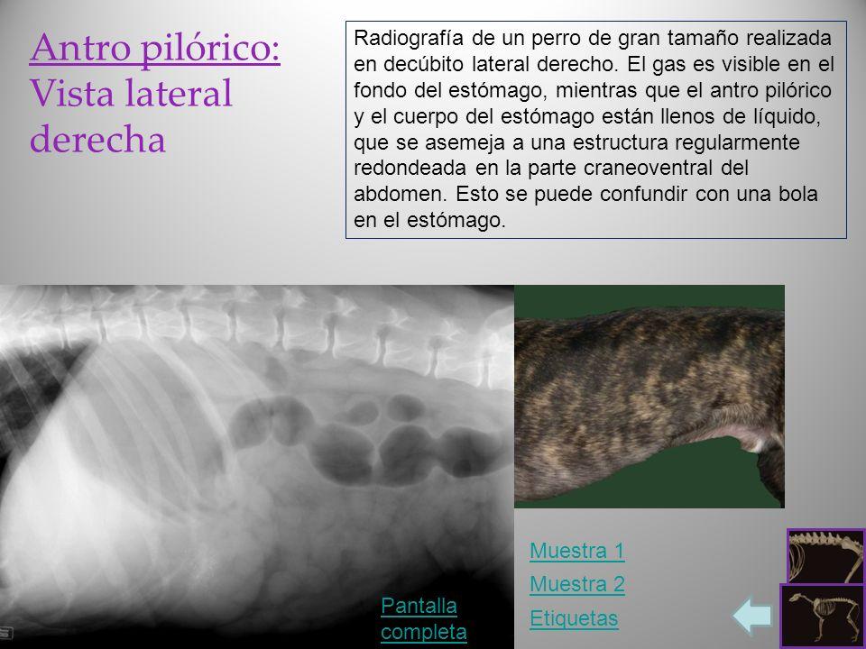 Antro pilórico: Vista lateral derecha Pantalla completa Etiquetas Radiografía de un perro de gran tamaño realizada en decúbito lateral derecho. El gas