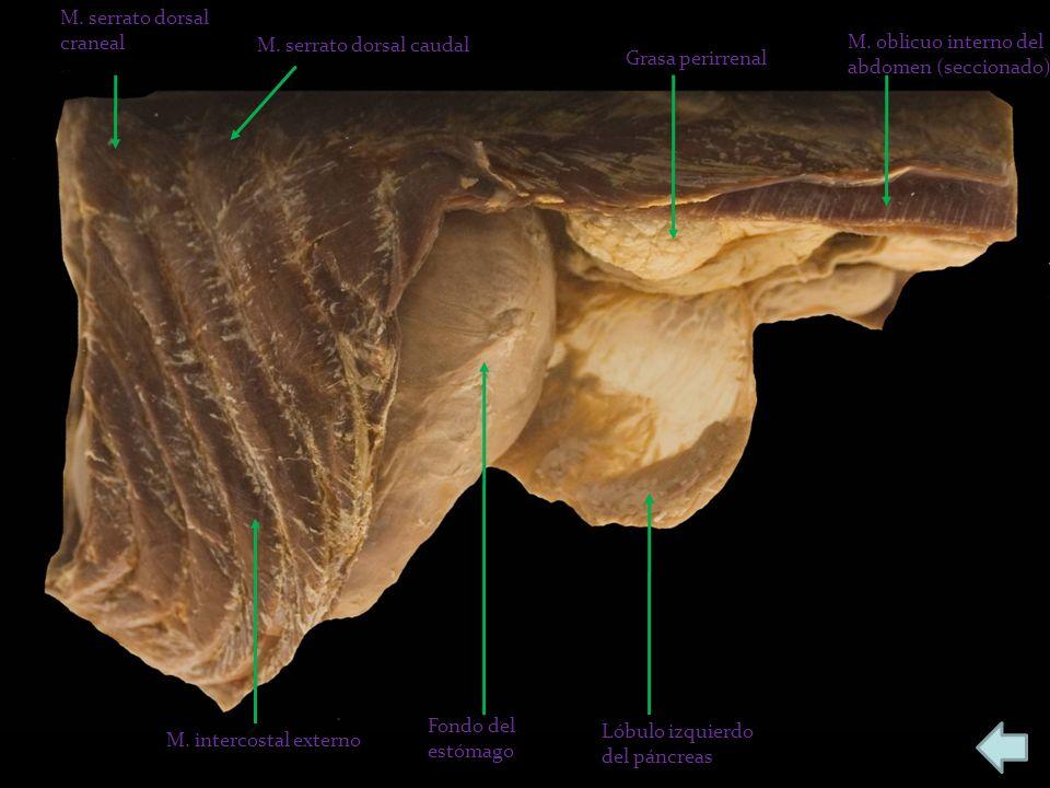 M. serrato dorsal craneal M. serrato dorsal caudal Grasa perirrenal M. oblicuo interno del abdomen (seccionado) Lóbulo izquierdo del páncreas Fondo de