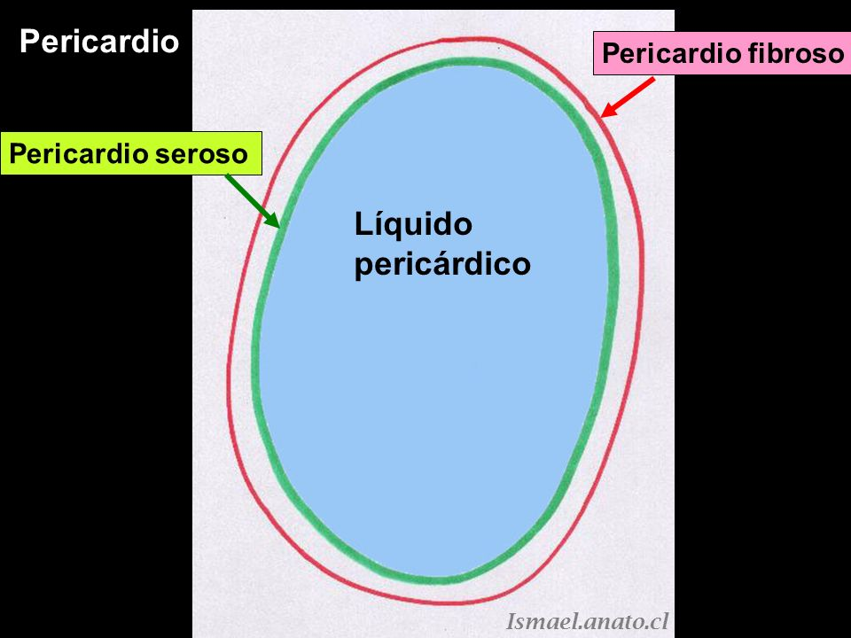 Pericardio Pericardio seroso Parietal Pericardio seroso visceral Pericardio fibroso Líquido pericárdico Ismael.anato.cl