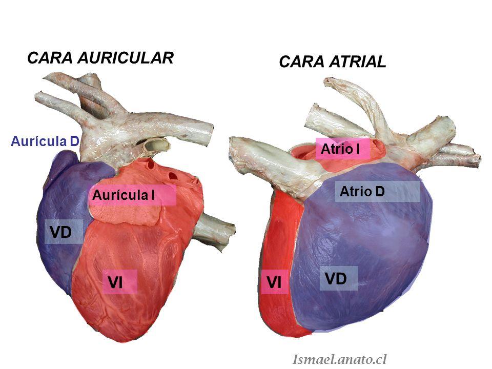 VD Atrio D VI Atrio I VI Aurícula I Aurícula D VD CARA AURICULAR CARA ATRIAL Ismael.anato.cl