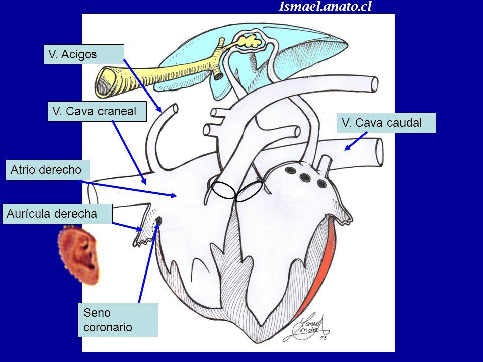 V. Cava caudal V. Cava craneal V. Acigos Seno coronario Diástole Ismael.anato.cl
