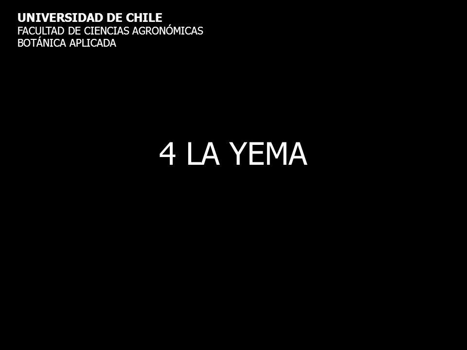 4 LA YEMA UNIVERSIDAD DE CHILE FACULTAD DE CIENCIAS AGRONÓMICAS BOTÁNICA APLICADA