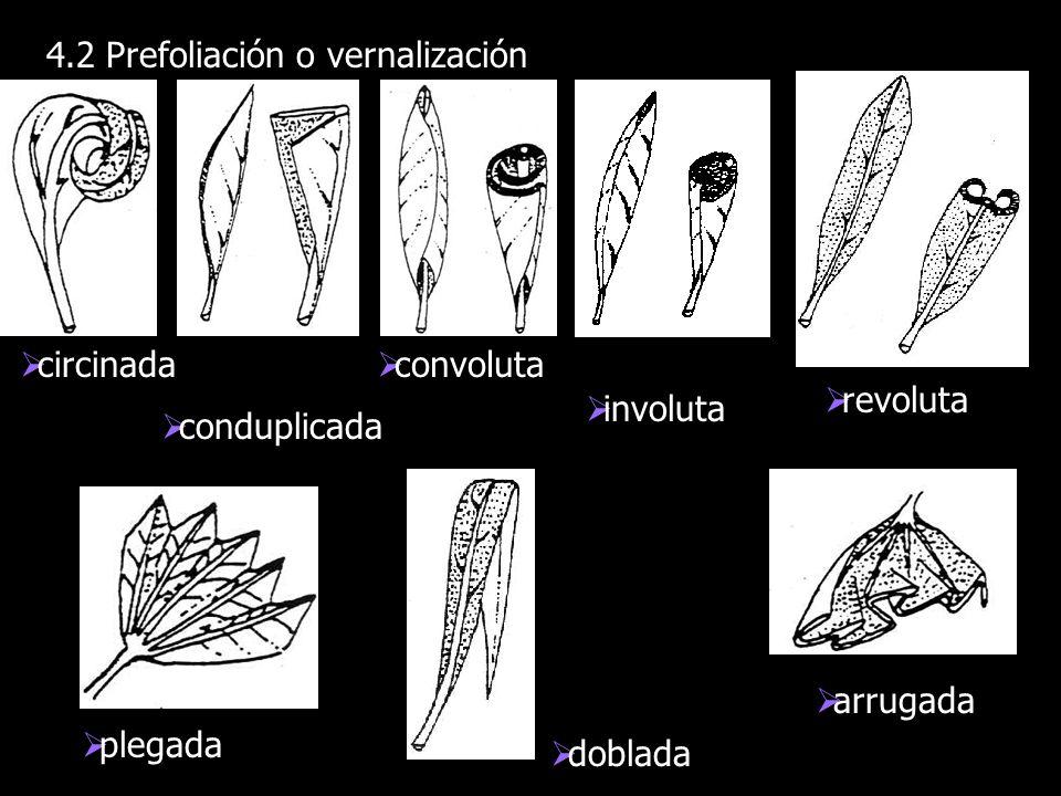 4.2 Prefoliación o vernalización circinada conduplicada convoluta involuta revoluta plegada doblada arrugada