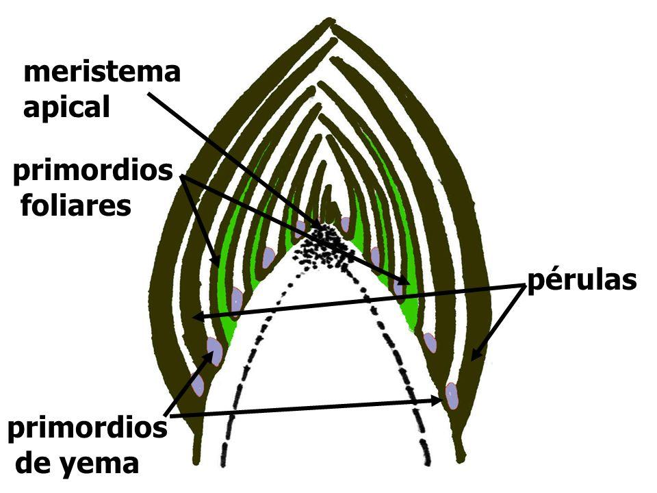 4.1 Criterios de clasificación Según posición Según disposición (Yemas laterales) Según origen Según estructura que originen (función) Según apariencia externa Según momento de formación Según momento de brotación